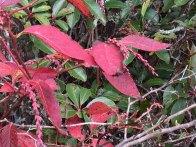 Mountain Fetterbush (Eubotrys recurva)