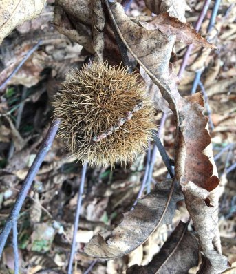 American Chestnut fruit (Castanea dentata)