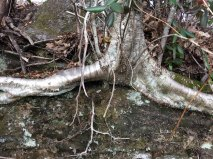 Black Birch (Betula lenta) Roots