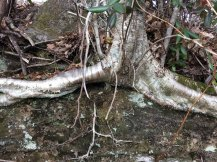 Black Birch (Betula lenta) Roots