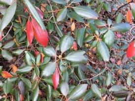 Rhododendron minus