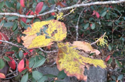 Witch Hazel (Hamamelis virginiana) Blooms