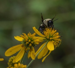 Wingstem (Verbesina alternifolia) & Bee