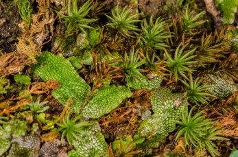 Snakeskin Liverwort (Conocephalum salebrosum) and Atrichum Moss (Atrichum sp.)