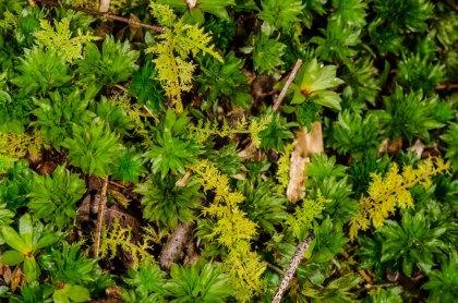 Rose Moss (Rhodobryum ontariense) and Delicate Thuidium Moss (Thuidium delicatulum)