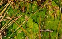 Pennsylvania Pogonatum Moss (Pogonatum pensilvanicum)