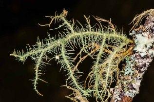 Possibly Bristly Beard Lichen (Usnea hirta)