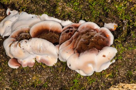 Resinous Polypore Fungus (Ischnoderma resinosum)