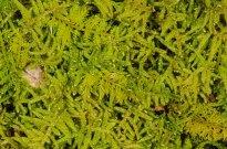 Hypnum Moss (Hypnum sp.) and Delicate Thuidium Moss (Thuidium delicatulum)