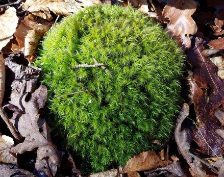 Dicranium Moss