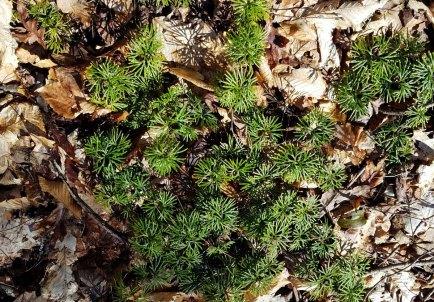Lycopodium Digitatum