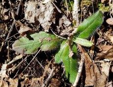 Fuzzy Leaf