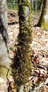 Forrestremia Moss Tree