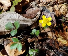 A Hardy Buttercup!