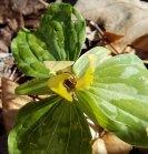 Yellow Little Sweet Betsy (Trillium cuneatum)