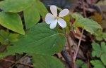 Canada Violet (Viola canadensis) Closeup