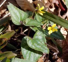 Halberd-leaved Violet (Viola hastata)