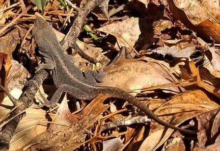 Lizard Starts the Walk