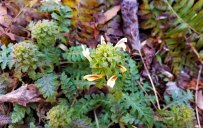 Wood Betony (Pedicularis canadensis)