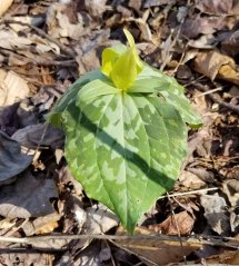 Possibly Yellow Toadshade (Trillium luteum)