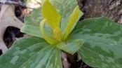 Yellow Toadshade (Trillium luteum) Closeup