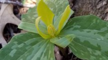 Possibly Yellow Toadshade (Trillium luteum) Closeup