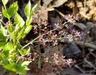 Yellowroot (Xanthorhiza simplicissima) Blooms