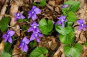 Common Blue Violet (Viola sororia)