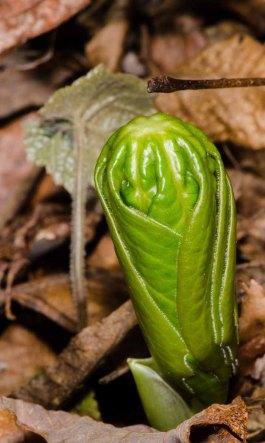 Mayapple (Podophyllum peltatum) Emerging