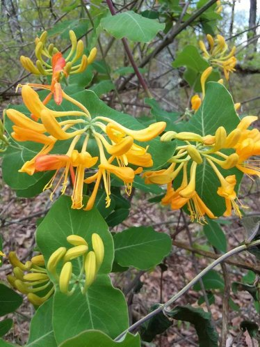 Yellow Honeysuckle (Lonicera flava)