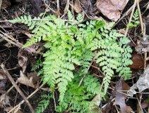 Lowland Bladder Fern (Cystopteris protrusa)