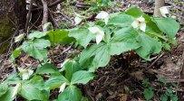 A Mass of Sweet White trilliums (Trillium simile)