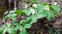 A Mass of Sweet White trilliums (Trillium simile)