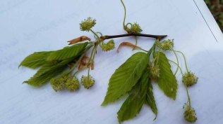 I think Lucy nailed it! American Beech (Fagus grandifolia)