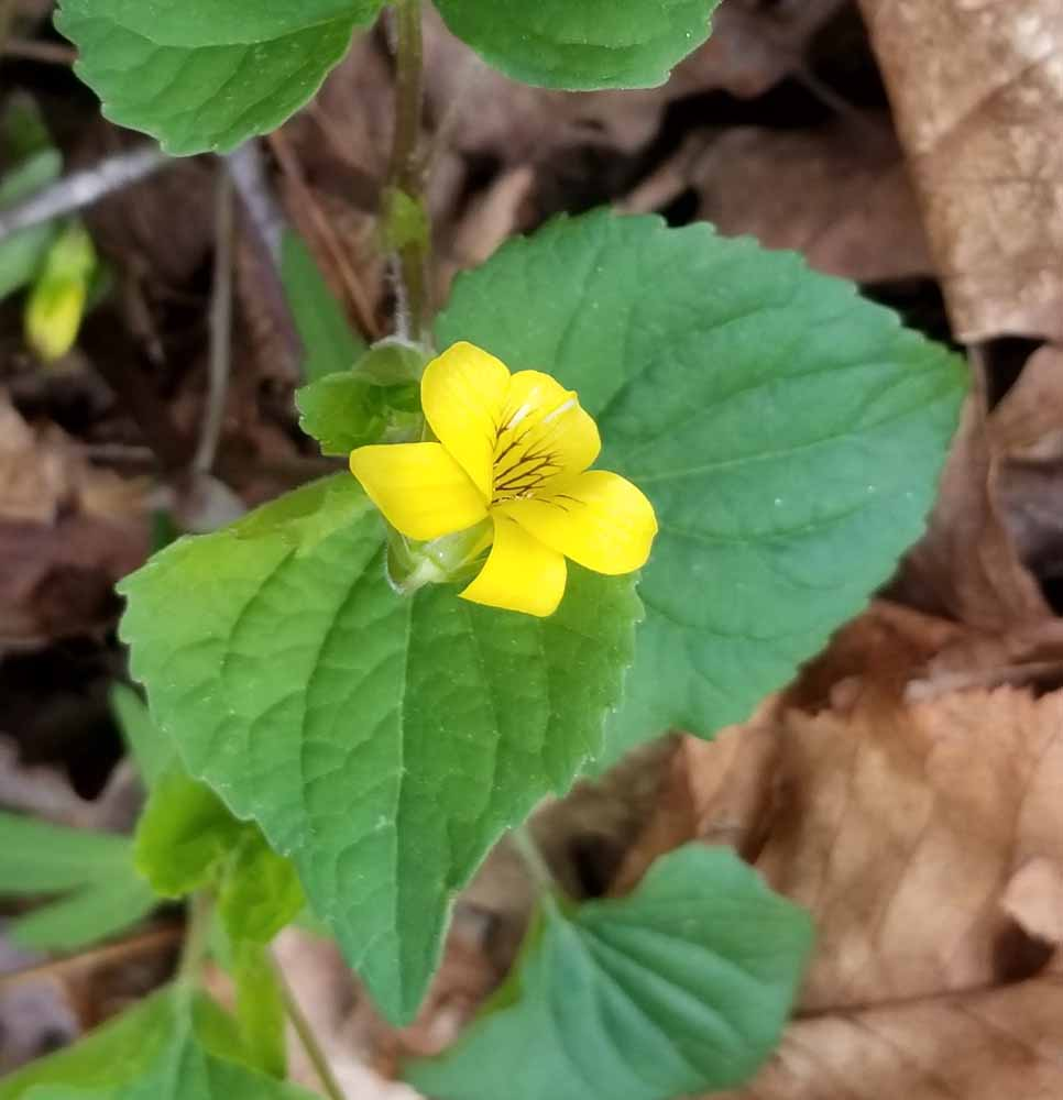 Violets Western Carolina Botanical Club