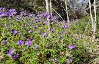 Trackside Purple Phacelia (Phacelia bipinnatifida)