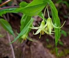 Yellow Mandarin (Prosartes lanuginosa)