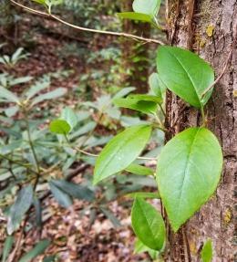 Climbing Hydrangea (Schizophragma hydrangeoides)