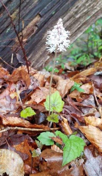 Foamflower (Tiarella cordifolia)