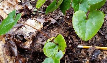 Variable-leaf Heartleaf (Hexastylis heterophylla)