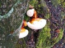 Hemlock Varnish Shelf Mushroom (Ganoderma tsugae)