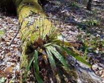Seersucker Sedge Blooms (Carex plantaginea)