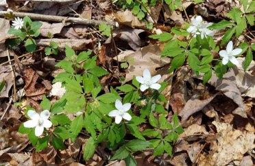 Wood Anemone (Anemone quinquifolia)
