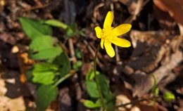 Early Buttercup (Ranunculus fascicularis)