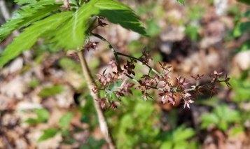 Yellowroot (Xanthorhiza simplicissima)