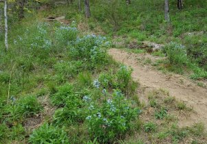 Field of Blue Star (Amsonia tabernaemontana)