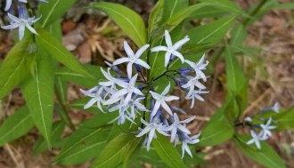 Blue Star (Amsonia tabernaemontana)