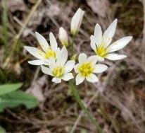False Garlic (Nothoscordum bivalve)