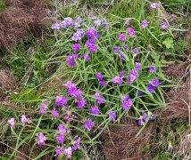 Hairy Spiderwort (Tradescantia hirsuticaulis) Varicolor