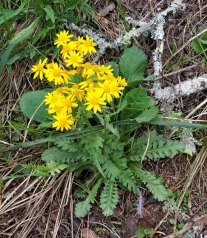 Small's Ragwort (Packera anonyma) - Note the Leaves